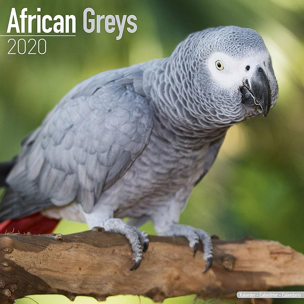Calendrier 2020 Les Perroquets Gris Du Gabon 12 95