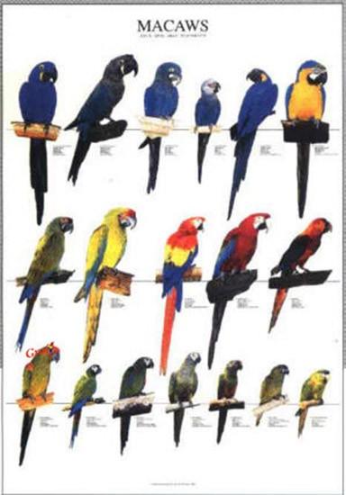 Poster oiseaux les diff rentes esp ces de aras 10 00 - Differentes especes de pins ...