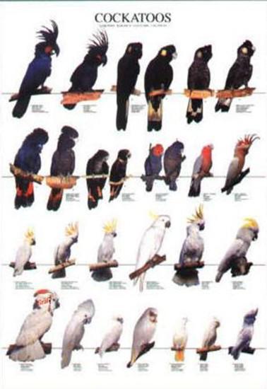 Poster oiseaux les diff rentes esp ces de cacato s 10 00 - Differentes especes de pins ...