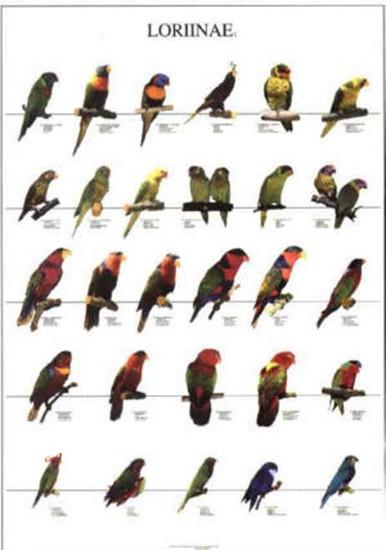 Poster oiseaux les diff rentes esp ces de loris n 2 10 00 - Differentes especes de pins ...