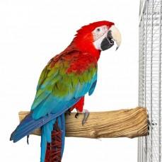 Perchoir en Sumbawa L 30 cm pour Grands Perroquets