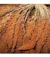 Millet Rouge en Grappes Français (Anjou) - 25 kg