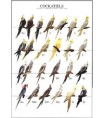 Poster Oiseaux : Les Mutations des Perruches Calopsittes