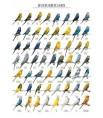 Poster Oiseaux : Les Mutations des Perruches Ondulées