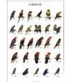 Poster Oiseaux : Les Différentes Espèces de Loris n°2